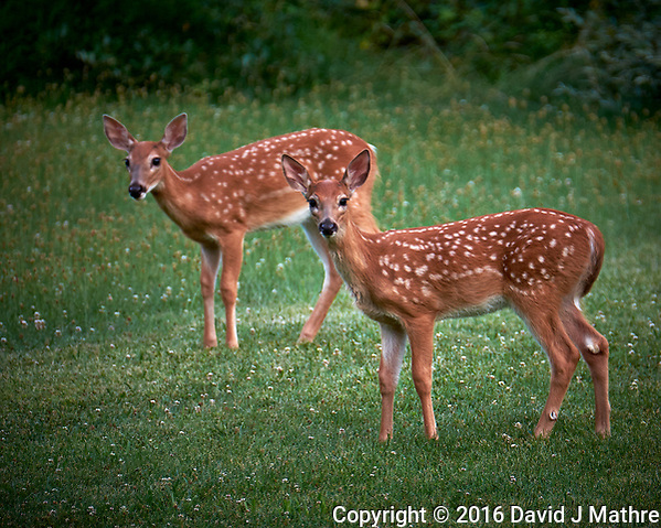 Twin Fawns with Spots. Image taken with a Fuji X-T1 camera and 100-400 mm OIS lens (ISO 200, 400 mm, f/5.6, 1/25 sec) (David J Mathre)