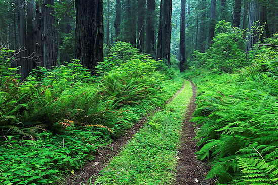 Coastal Trail through redwood forest, Del Norte Coast Redwoods State Park, Del Norte County, California (Brad Mitchell)