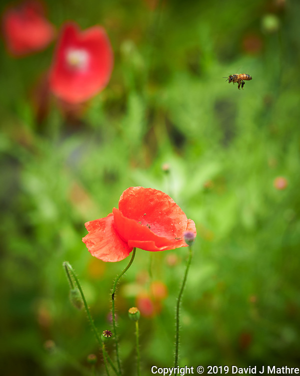 Red Poppy and a Bee after the Rain. Image taken with a Nikon D850 camera and 105 mm f/1.4 lens (DAVID J MATHRE)