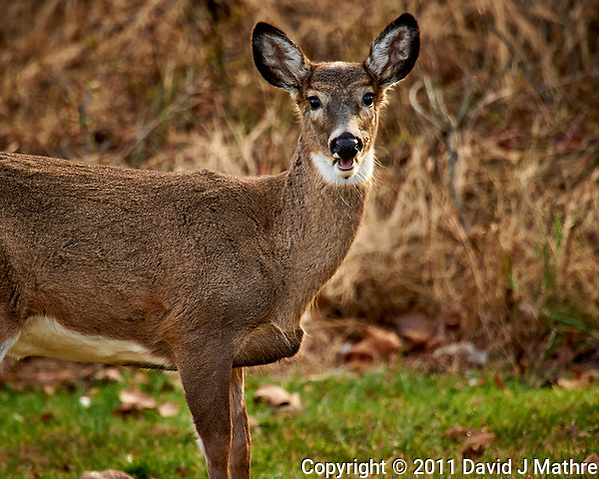 Talking Doe. Backyard Autumn Nature in New Jersey. Image taken with a Nikon D3s camera and 600 mm f/4 VR lens with a TC-EIII 2x teleconverter (ISO 1400, 1200 mm, f/8, 1/320 sec). (David J Mathre)