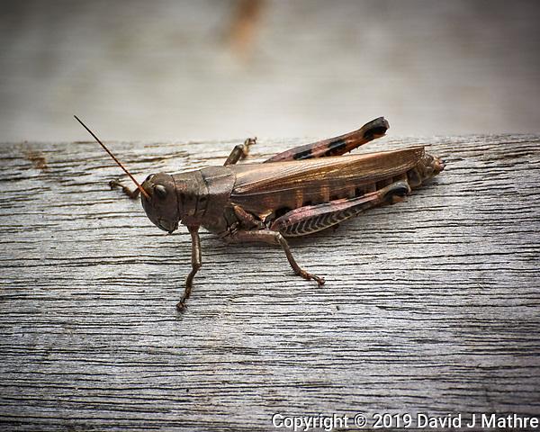 Spur-throated Grasshopper. Image taken with a Nikon 1 V3 camera and 70-300 mm VR lens (ISO 400, 300 mm, f/5.6, 1/640 sec). (DAVID J MATHRE)