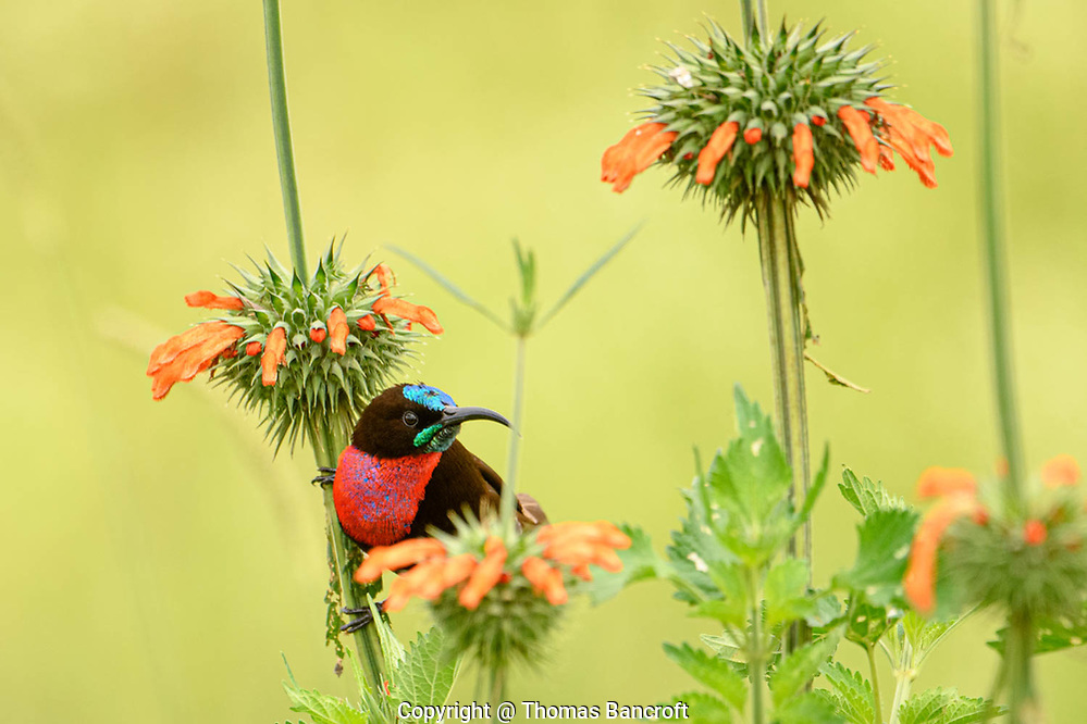 The Scarlet-chested Sunbird hunched down on the stem to look through the flower patch, possibly preparing to check out another cluster. Nairobi National Park, Kenya. (Thomas Bancroft)