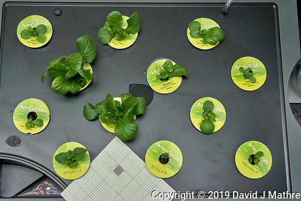 AeroGarden Farm 2 Right. at 10 days. Lettuce, Romain, Arugula Image taken with a Leica TL-2 camera and 35 mm f/1.4 lens. (DAVID J MATHRE)