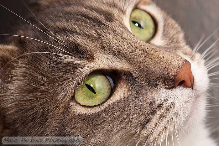 "A closeup of Lucca, a blue patched tabby and white shorthair house cat, looking up at something exciting.  I like her attentive, alert expression that shows off her cute ""old rose"" nose and her bright green eyes.  The fur on the top of her nose is also in sharp focus, showing off the different directions it lays.  The background is off white, and out of focus. (Marc C. Perkins)"