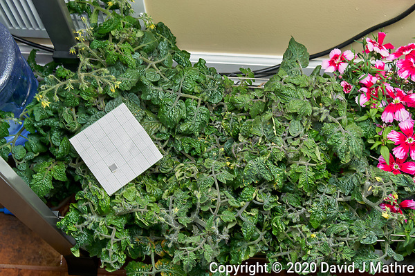 AeroGarden Farm 01-Left. Tomato Plants (128 days). Image taken with a Leica TL-2 camera and 35 mm f/1.4 lens (ISO 400, 35 mm, f/8, 1/30 sec). (DAVID J MATHRE)