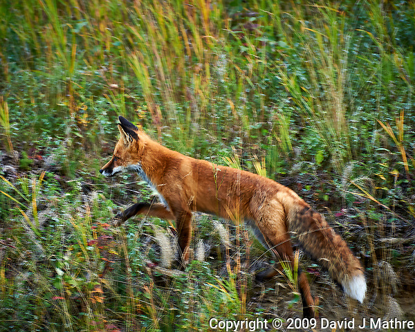 Red Fox hunting alongside the Alaska-Canada Highway. Image taken with a Nikon D700 camera and 70-300 mm f/4 lens (ISO 200, 300 mm, f/5.6, 1/50 sec). (David J Mathre)