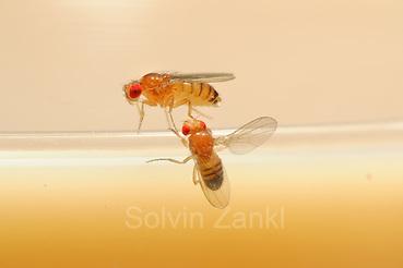 Male flie (below) is singing to the female during courtship using their wing to generate sound. Fruit Fly (Drosophila melanogaster) lab culture. (wild type) | In der Natur meist vom Menschen unbemerkt, im Labor interessiert beobachtet und studiert: das erstaunlich komplexe Paarungsverhalten der Taufliege (Drosophila melanogaster). Das Männchen (unten) umwirbt das von ihm auserwählte Weibchen, das sich nicht so ohne Weiteres von ihm begatten lässt. Das Männchen spreizt in Taufliegen-typischer Manier einen Flügel seitlich ab und erzeugt damit durch Vibrationen einen sirrenden Gesang, der nur mit Spezial-Mikrophonen für den Menschen hörbar wird. (Solvin Zankl)