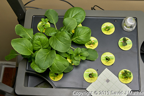 Farm 08 Left (14 days). Positions F08L01 - F08L12 Bok Choi (AeroGarden). Image taken with a Leica TL-2 camera and 35 mm f/1.4 lens (ISO 500, 35 mm, f/8, 1/80 sec). (DAVID J MATHRE)