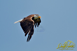 "Bald Eagle in Flight (© Daryl Hunter's ""The Hole Picture""/Daryl L. Hunter)"