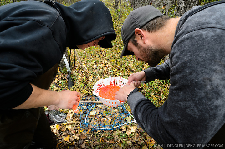 Dylan Burbank (left) and David Campbell, fish technicians for the non-profit Northern Southeast Regional Aquaculture Association, Inc. (NSRAA), inspect roe from a female chum salmon captured on the man-made spawning channel of Herman Creek located near Haines, Alaska. NSRAA built the channel to collect wild broodstock by harvesting spawning female and male salmon for their eggs and milt to artificially spawn wild chum salmon. The eggs are fertilized with milt and placed in stream-side incubation boxes on Herman Creek and the Klehini River. In 2014, 2.4 million eggs were seeded into these incubation boxes. The 2013 incubation box survival rate was 90%. Without the artificial spawning, natural survival is said to be only 10%. It is important to remove bad eggs to keep the fish healthy while in the incubation boxes. Based in Sitka, Alaska, NSRAA conducts salmon enhancement projects in northern southeast Alaska. It is funded through a salmon enhancement tax (of three percent) and cost-recovery income. NSRAA also produces sockeye, chinook, and coho salmon. Male chum salmon return to Herman Creek to spawn with female chum salmon during the fall chum salmon run. The chum salmon return to freshwater Herman Creek, tributary of the Klehini River after living three to five years in the saltwater ocean. Spawning only once, chum salmon die approximately two weeks after they spawn. Chilkat River and Klehini River chum salmon are the primary food source for one of the largest gatherings of bald eagles in the world. Each fall, bald eagles congregate in the Alaska Chilkat Bald Eagle Preserve. (© John L. Dengler/Dengler Images)