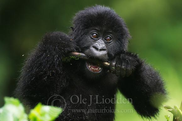 Mountain gorilla (Gorilla beringei beringei) in Virunga, Rwanda (Ole Jørgen Liodden)