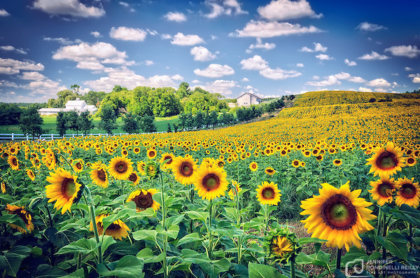 Photo taken of sunflowers at Pope Farm Conservancy in Verona,WI. (Jennifer Rondinelli Reilly/Photo by Jennifer Rondinelli Reilly.)