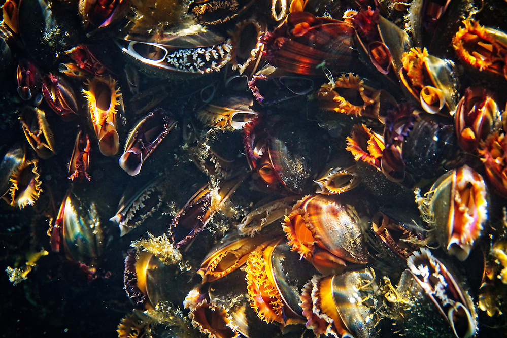 Mytilus edulis (common mussels) have the most wonderful colour when young. As they mature the vibrancy is lost as they take on the more traditional blue shell. 2020 Image from the Below the Skye Line project. Photographer: Gill Williams Post Production: Geraint Ashton Jones https://www.belowtheskyeline.com (Below the Skye Line / © Gill Williams & © Geraint Ashton Jones)