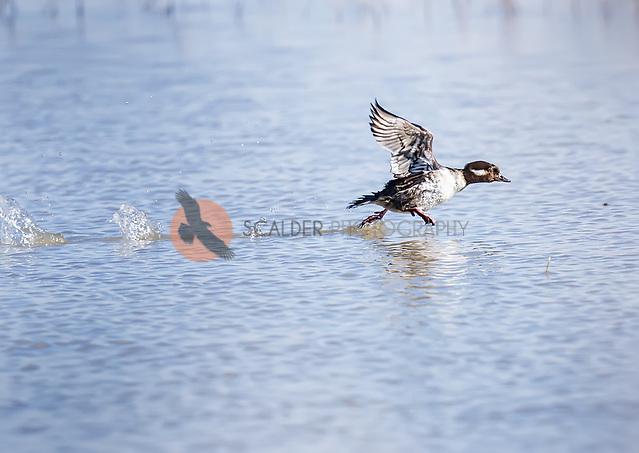 Female bufflehead taking off in flight from water surface with feet splashing on the water (Sandra Calderbank, sandra calderbank)
