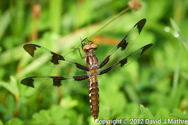 Dragonfly at the Sourland Mountain Preserve. Image taken with a Nikon D800 and 300 mm f/2.8 VR lens (ISO 450, 300 mm, f/5.6, 1/640 sec) (David J Mathre)