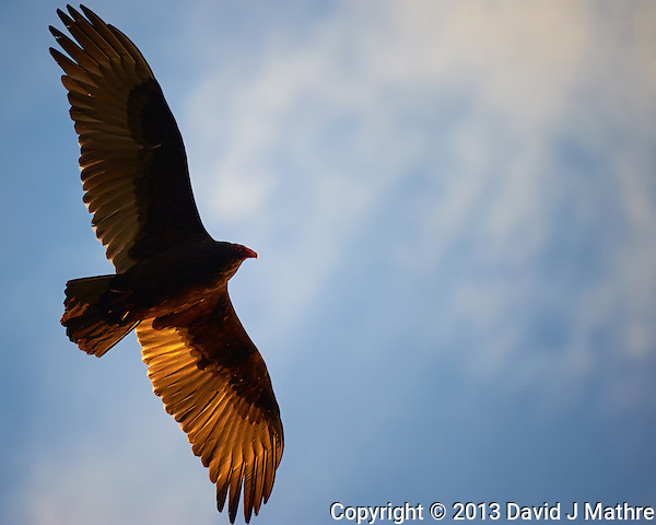 Turkey Vulture Soaring in the Late Afternoon Sun. Backyard Nature in New Jersey. Image taken with a Nikon D3 camera and 80-400 mm VRII lens (ISO 800, 400 mm, f/5.8, 1/1000 sec). (David J Mathre)