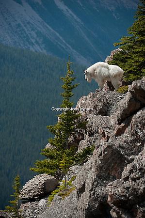 mountain goat billy cliff, mountain goat trophy billy (Tony Bynum/tonybynum.com)