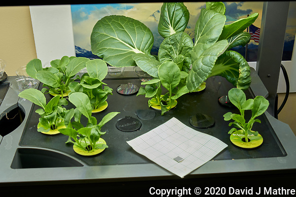 AeroGarden Farm 09-Right. Positions 01-02, 04-07 Bok Choi at day 12. Position 03 Bok Choi transferred from other Farm. Image taken with a Leica TL-2 camera and 35 mm f/1.4 lens (ISO 100, 35 mm, f/8, 1/30 sec). (DAVID J MATHRE)