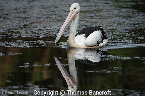 The Australian Pelican cruised along the shallows looking like a stately yacht whose proud owner is showing it off to an audience. (G. Thomas Bancroft)