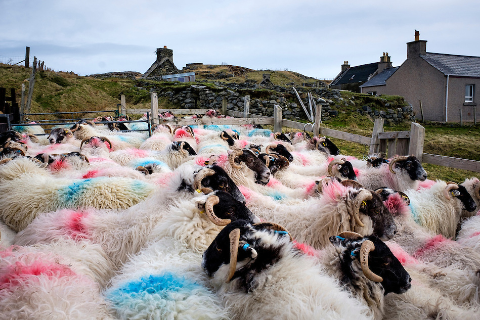 LEWIS AND HARRIS, SCOTLAND - CIRCA APRIL 2016: Sheeps on the outer islands of Lewis and Harris in Scotland. (Daniel Korzeniewski)