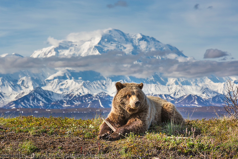 Young grizzly bear rests along the spring tundra in front of Denali, Denali National Park, Alaska. (Patrick J. Endres / AlaskaPhotoGraphics.com)