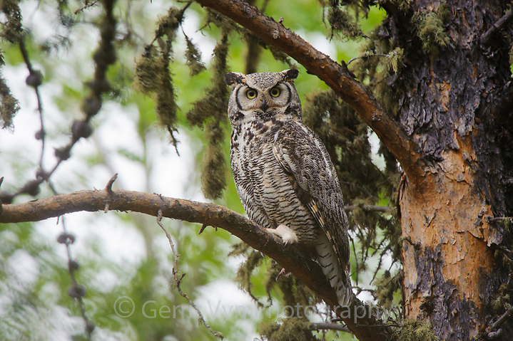 Pale adult Great Horned Owl (Bubo virginianus). Cold Lake Provincial Park, Alberta, Canada. May. (Gerrit Vyn)
