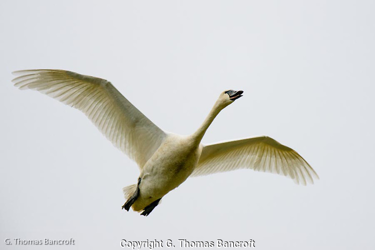 A Tundra Swan flies while calling. (G. Thomas Bancroft)