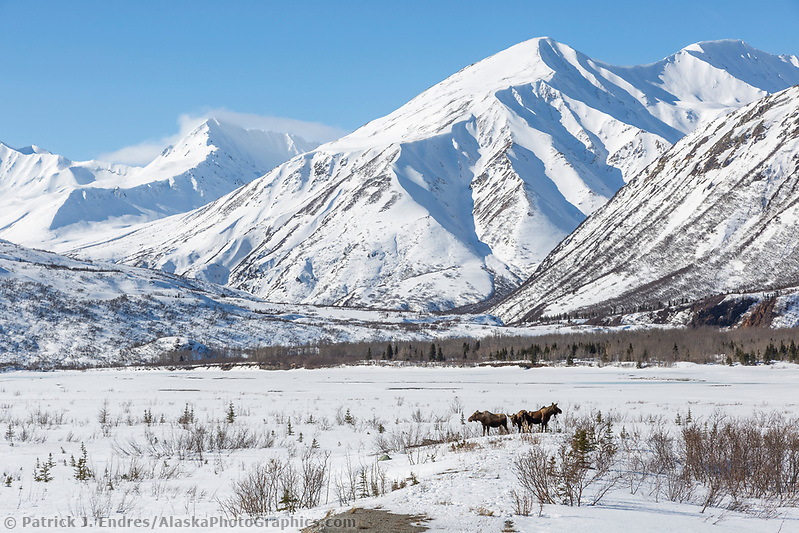 Cow moose and two calves in the snow covered mountains of the Alaska Range, in Alaska's Interior. (Patrick J Endres / AlaskaPhotoGraphics.com)