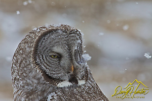 "Snow covered, Great Grey Owl, spring, snowstorm, Jackson Hole, Wyoming (Daryl Hunter's ""The Hole Picture"" � Daryl L. Hunter has been photographing the Yellowstone Region since 1987, when he packed up his view camera, Pentex 6X7, and his 35mm�s and headed to Jackson Hole Wyoming. Besides selling photography Daryl also publ)"