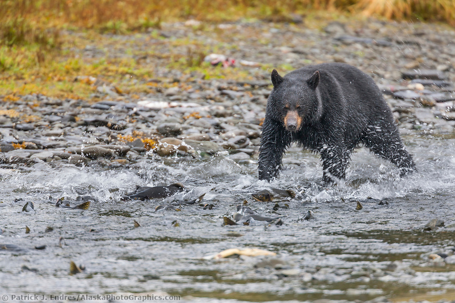 alaska wildlife photos: Black bear fishes for pink salmon in a stream along western Prince William Sound, Chugach National Forest, Kenai Peninsula, southcentral, Alaska. (Patrick J Endres / AlaskaPhotoGraphics.com)