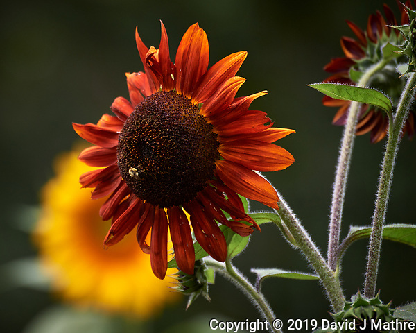 Sunflower. Image taken with a Nikon D5 camera and 80-400 mm VRII lens (ISO 220, 400 mm, f/5.6, 1/800 sec). (DAVID J MATHRE)