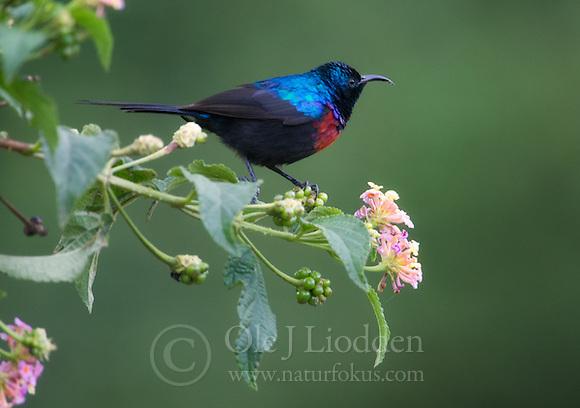 Red-chested Sunbird (Nectarinia erythrocerca) in Rwanda (Ole Jørgen Liodden)