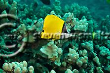 Common Longnose Butterflyfish, Forcipiger flavissimus,  lauwiliwilinukunuku?oi?oi, Jordan & Evermann, 1898, Molokai Hawaii (Steven W SMeltzer)