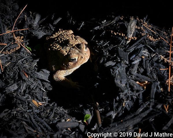 Toad. Image taken with a Leica CL camera and 18-55 mm, 55-135, or 11-23 mm lens. (DAVID J MATHRE)