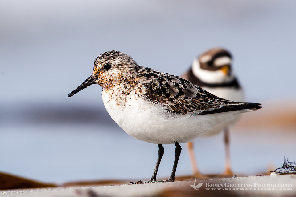 The Little Stint is a very small wader. At Revtangen on Jaeren, south west Norway. (Photo Bjorn Grotting)