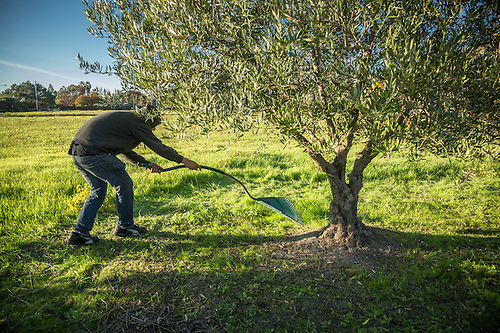 Rueben Blancas harvests olives on the north side of Calistoga. (Clark James Mishler)