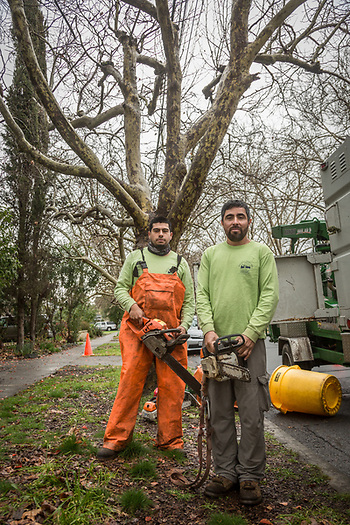 Joes Rincon (right) and Miquel Vazquez of Pacific Tree Service prepare to begin work on trees near the corner of Cedar and South Oak Streets in Calistoga.  joserincon1393@gmail.com (Clark James Mishler)
