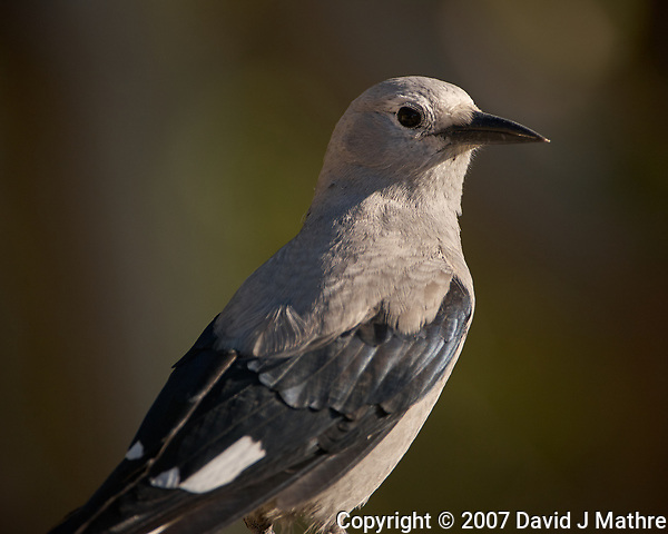 Clark's Nutcracker. Image taken with a Nikon D2xs camera and 400 mm f/2.8 lens (ISO 100, 400 mm, f/4, 1/640 sec). (David J Mathre)