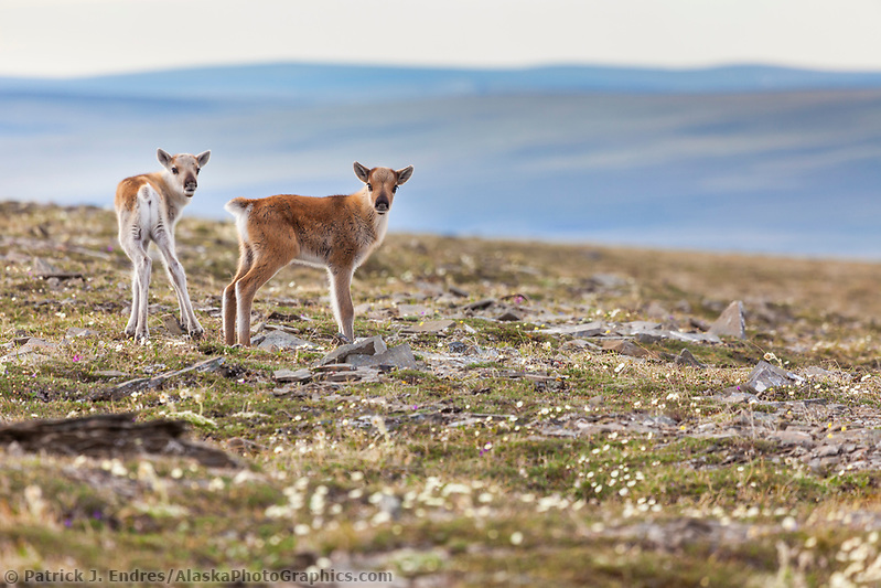 New born caribou calves of the Western arctic caribou herd, Utukok uplands, National Petroleum Reserve Alaska, Arctic, Alaska. (Patrick J Endres / AlaskaPhotoGraphics.com)
