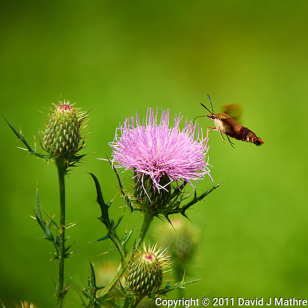 Hummingbird Clearwing Moth on Thistle Bloom. Sourland Mountain Preserve, Summer Nature in New Jersey. Image taken with a Nikon D700 and 28-300 mm VR lens (ISO 200, 300 mm, f/5.6, 1/800 sec). Raw image processed with Capture One Pro 6, Nik Define, and Photoshop CS5. (David J Mathre)