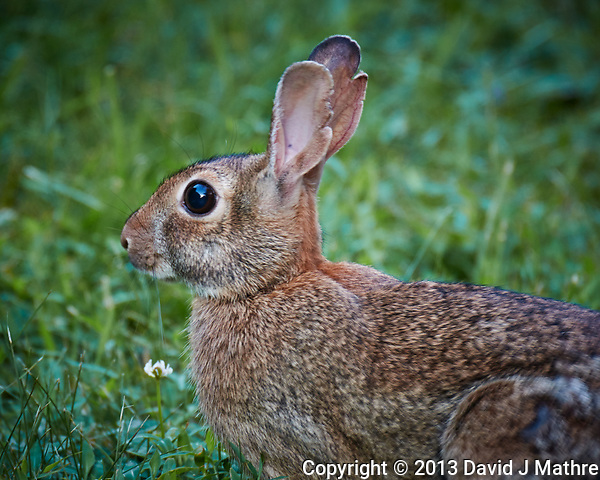 Harvey the Rabbit in My Backyard. Summer Nature in New Jersey. Image taken with a Nikon 1 V2 camera, FT1 adapter, and 80-400 mm VRII lens (ISO 160, 400 mm, f/5.6, 1/20 sec). Note that this is equivalent to 1080 mm on a 35 mm sensor, and was hand-held. Raw image processed with Capture One Pro 8, Focus Magic, and Photoshop CC. (David J Mathre)