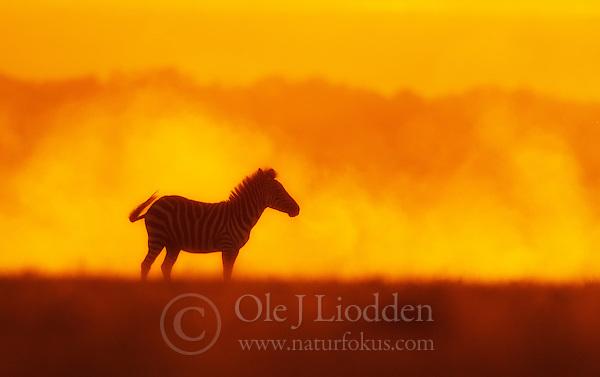 Plains zebra (Equus quagga) in Masai Mara, Kenya (Ole Jørgen Liodden)
