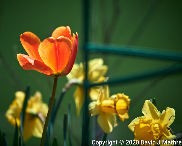 Orange Tulip flower. Image taken with a Nikon D5 camera and 600 mm f/4 VR lens (ISO 100, 600 mm, f/4.5. 1/1250 sec) (DAVID J MATHRE)