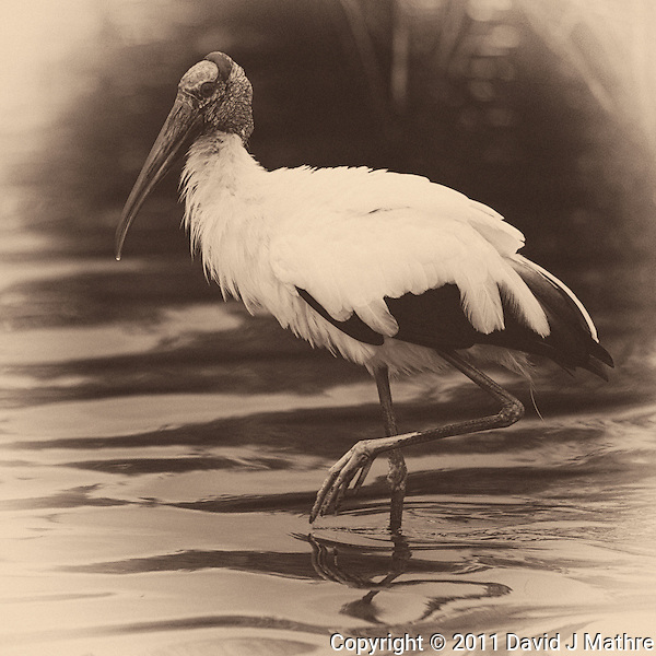Wood Stork along Black Point Wildlife Drive in Merritt Island Wildlife Refuge. Image taken with a Nikon D3s and 600 mm f/4 VR lens (ISO 640, 600 mm, f/4, 1/640 sec). Image converted to B&W with Nik Silver Efex Pro 2. (David J Mathre)