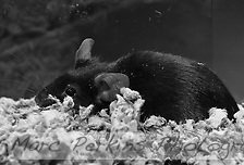 """A black female mouse collapses on the bedding in a pose that reminds me of someone saying, """"is it Monday � again?"""" (Marc C. Perkins)"""