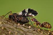 Ants and aphids have a mutualistic relationship. Ants feed on the honeydew excreted by the aphids, and in exchange, they protect the aphids | Eine Ameise (Lasius spec.) klopft mit ihren Antennen auf den Hinterkörper der Blattlaus und nimmt den daraufhin von der Blattlaus ausgeschiedenen Baumsaft-Tropfen auf. (Solvin Zankl)