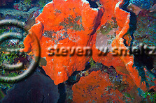 Elephant Ear Sponge, Agelas clathrodes, Orange Canyon Grand Cayman (Steven Smeltzer)