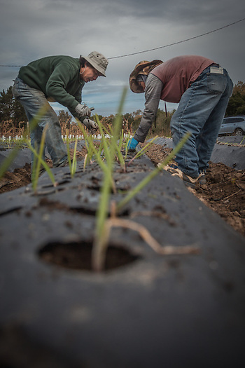 "Chan and Sou plant sweet onions near the city of Napa. ""We plan now and harvest in April."" (© Clark James Mishler)"