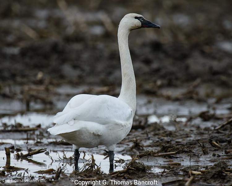 Tundra Swans feed in fallow fields on roots and tubers. (G. Thomas Bancroft)