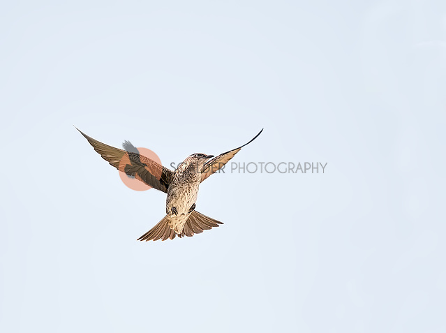 Female Purple Martin hovering in flight against cloudy sky (SandraCalderbank, sandra calderbank)